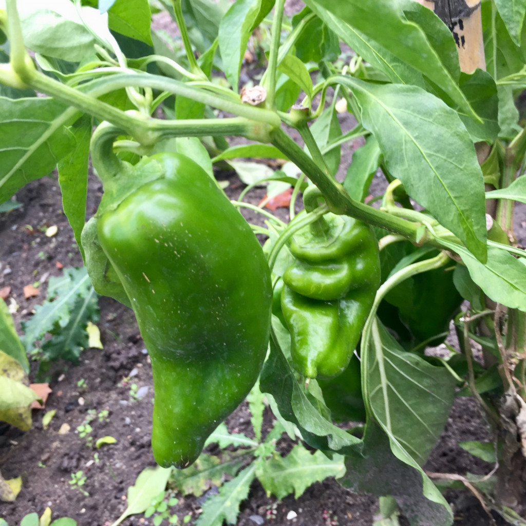 frischer Paprika im Garten